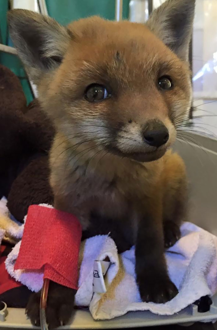 A Baby Fox Was Brought To Our Local Vet. Looks Almost Like CGI On This Pic