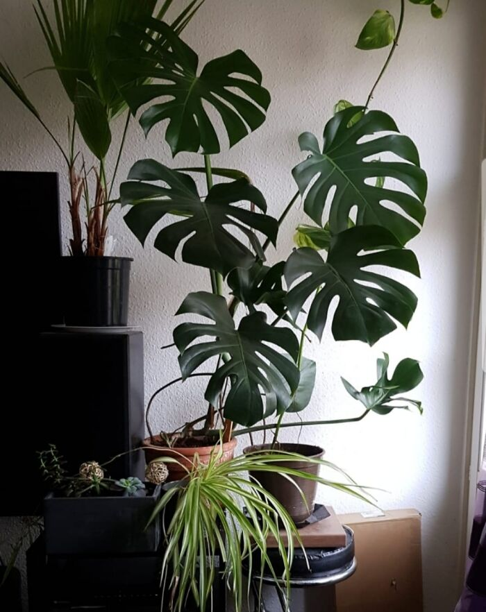 My Big Monstera! In Front Of My Little Loggia.
