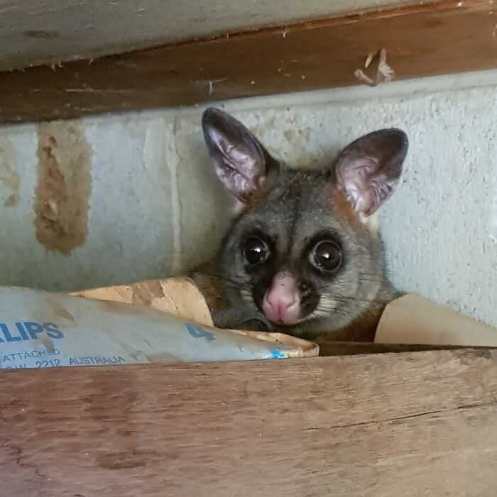 Woke Up This Brush-Tailed Possum That Was Napping In The Shed
