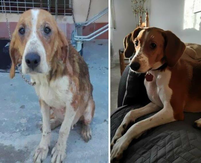 Esta es Hana. La rescatamos de un refugio hace dos años y medio. A la izquierda está cómo la encontraron los voluntarios del refugio, vagando por el bosque. A la derecha es como está ahora. La mejor decisión de mi vida