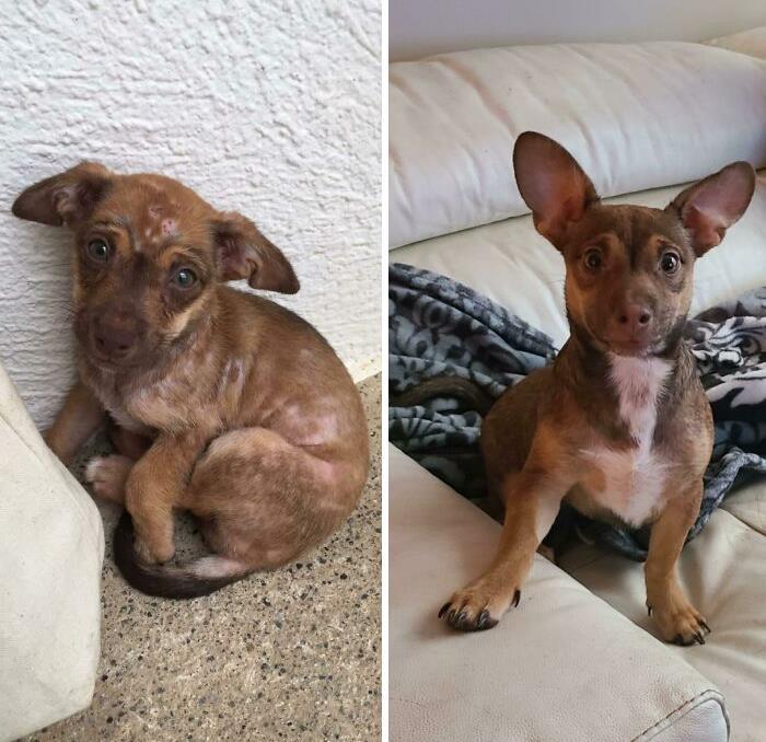 Adopté este bebé de la República Dominicana hace 1 mes - mi madre no creía que se trataba del mismo perro. Lo llamé Remi y sufría de sarna y desnutrición, ¡ya no!