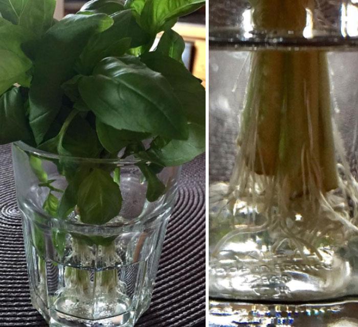Albahaca y cilantro