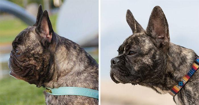 La crianza de perros está rediseñando la cara del Bulldog Francés para mejorar su salud