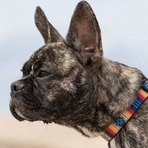 """""""Breed For Health. Not Show"""": Breeder Is Reengineering French Bulldogs' Faces To Make Them Healthier"""