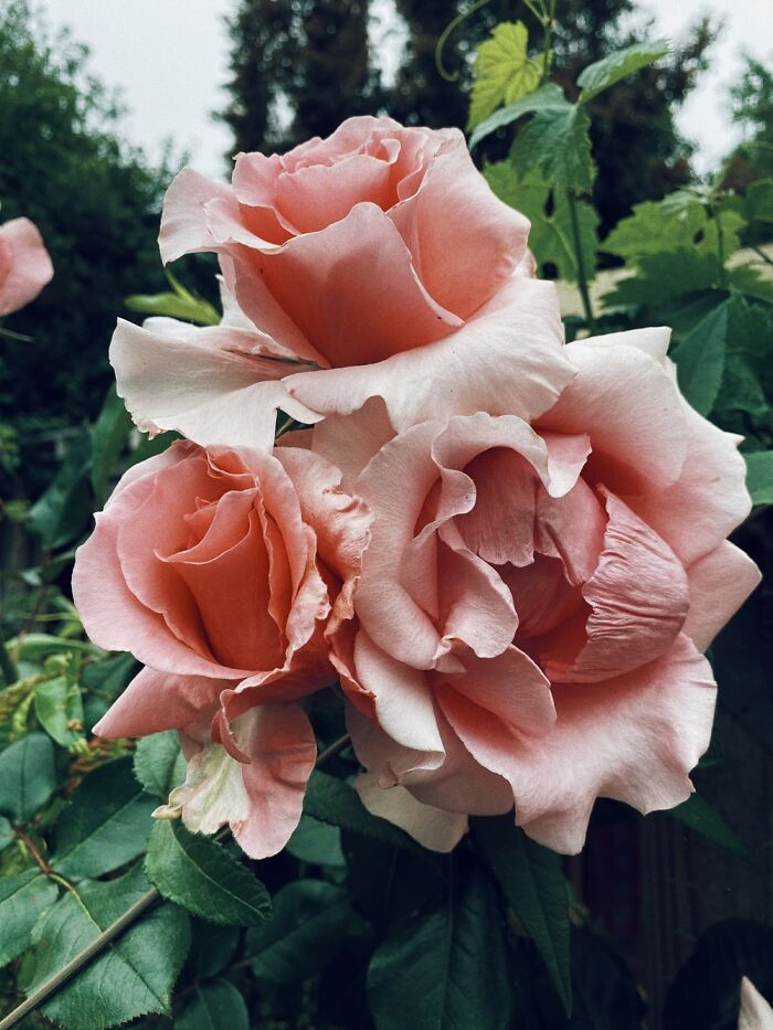 David Austen Roses Bloomed Perfectly