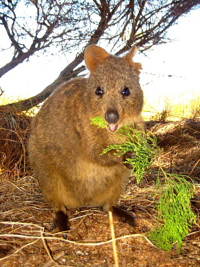 A Quokka - The World's Happiest Animal From Western Australia!