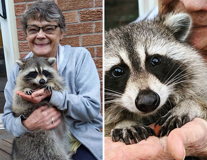 Women Save A Raccoon's Life, He Keeps Coming Back To Them After Three Years