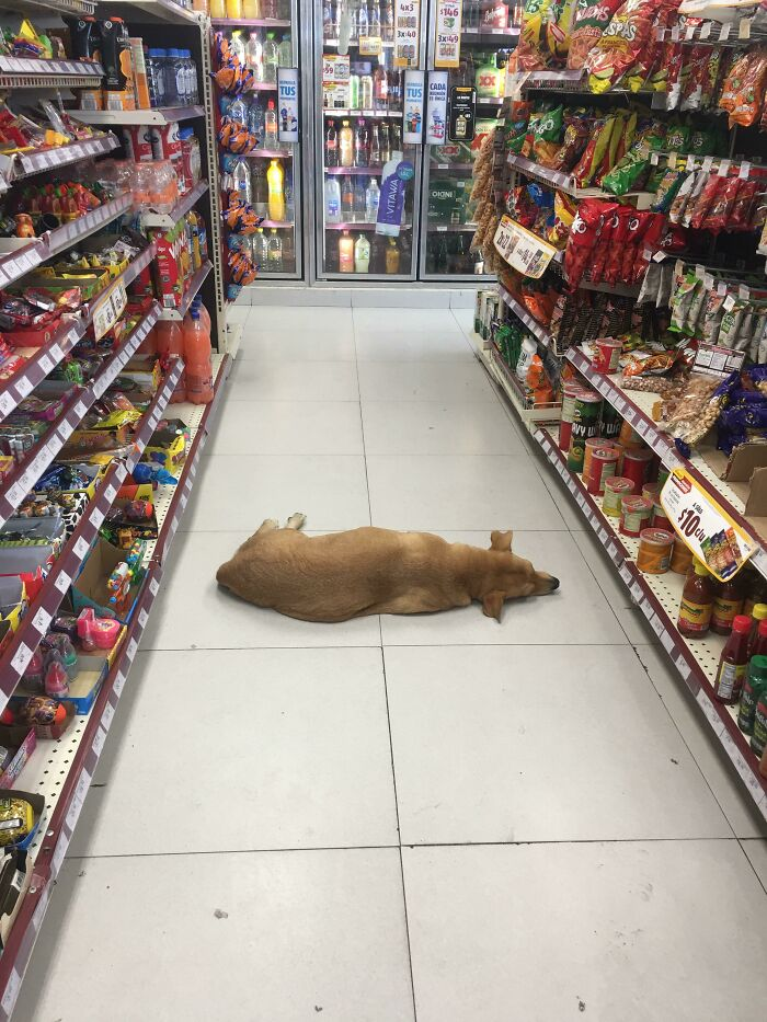 Due To The Extreme Heat (40C) My Local Convenience Store Let A Stray Dog Inside To Cool Off