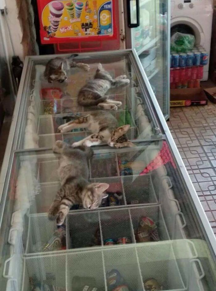 It's Kinda Hot In Turkey, So The Shop Owner Let The Kittens Sleep On The Freezer