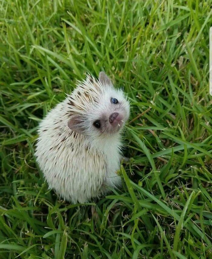 Hedgehog Teefs