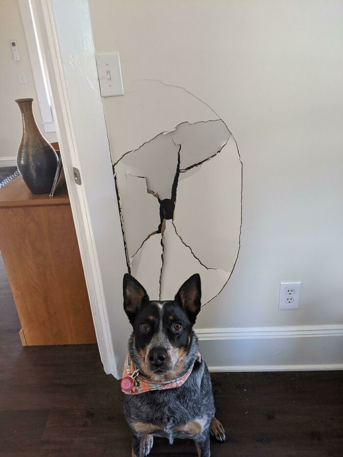 Get An Australian Cattle Dog, It'll Be Fun They Said