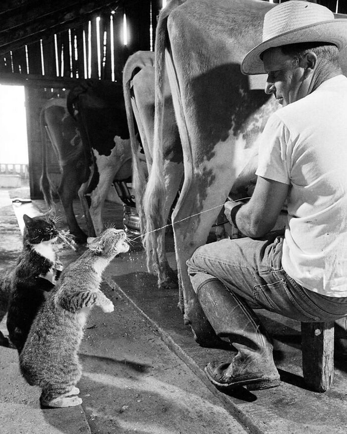 Cats Blackie & Brownie Catching Squirts Of Milk During Milking At Arch Badertscher's Dairy Farm In Fresno, California, 1954
