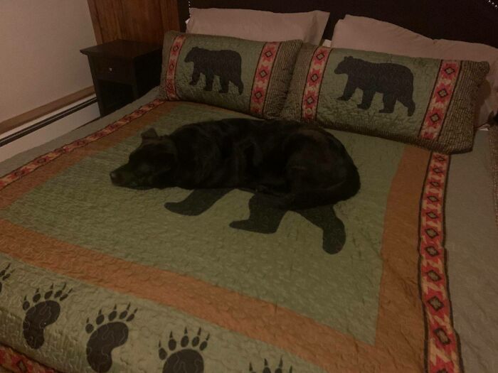 Dog On Bear Blanket