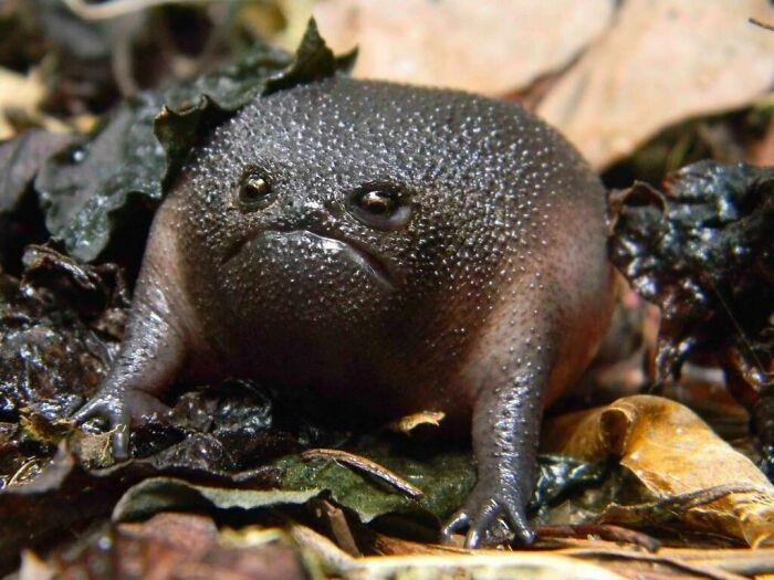 Rana pluvial negra