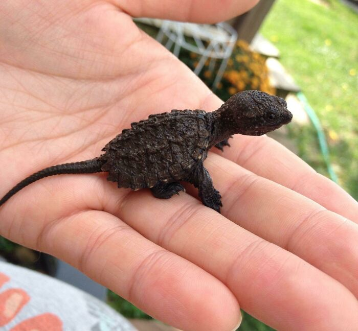 Baby Snapping Turtles Look Just Like Little Dinosaurs
