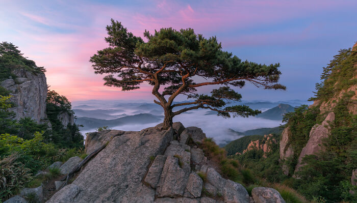 An Old Pine Tree, Daedunsan, South Korea