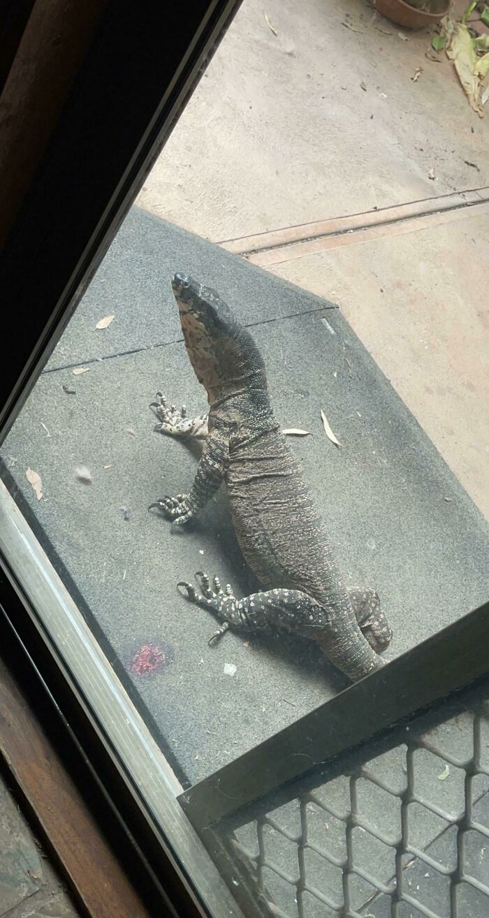40 Degrees Up North Vic Today. Had A Little Visitor Come And Smack The Door With His Tail Before Taking A Dip In Our Pond