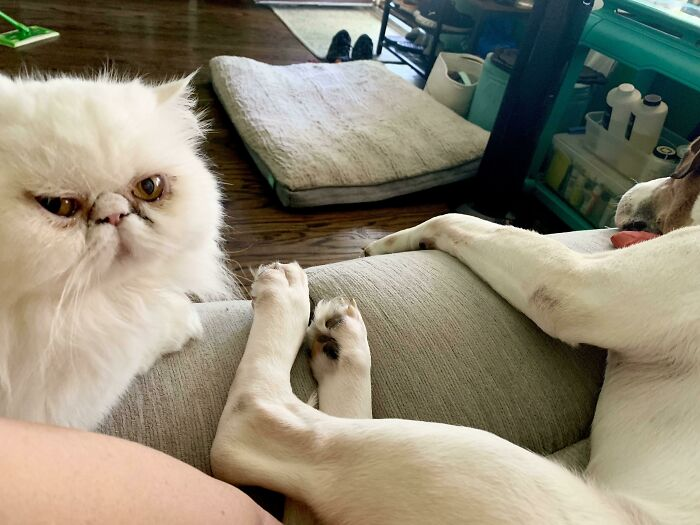We Adopted A Dog A Few Weeks Ago And The Cat Is Finally Ready To Hate Him Up Close