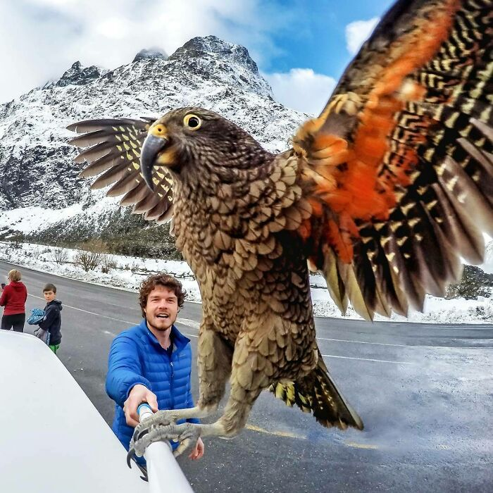 Show The World Your True Colours. Keas, An Alpine Parrot That Loves The Mountains. Crazy Cool Birds!