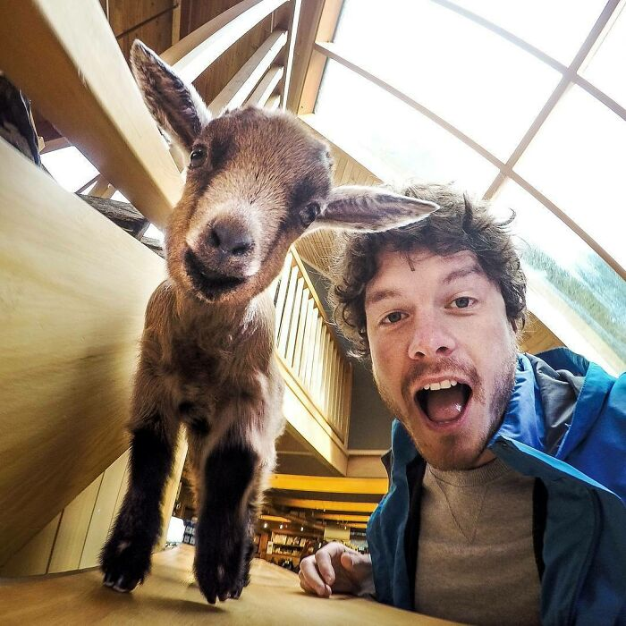 This Little Goat Called Nigel Was Saved As It's Mother Was Hit By A Car. He Now Hangs Out In The Reception Making Visitors Smile At The Kiwi Birdlife Park In Queenstown