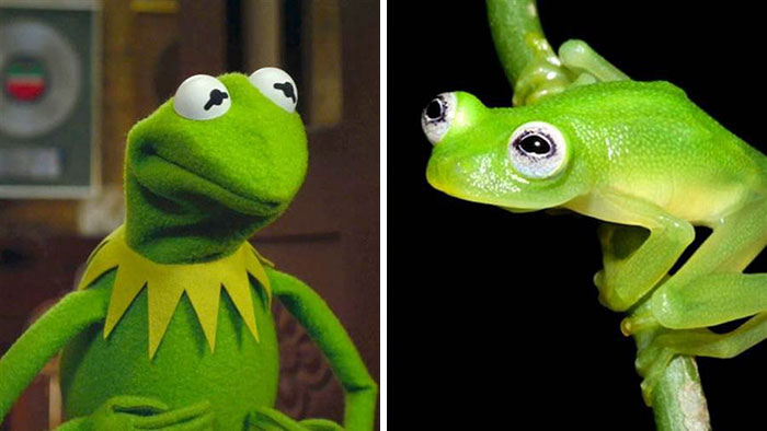 Esta especie de rana se parece a Kermit / Rene / Gustavo