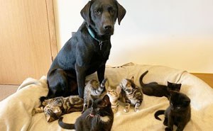 7 Motherless Kittens Found A Surrogate Dad In This Rescue Labrador Retriever Before They Found Their Forever Home