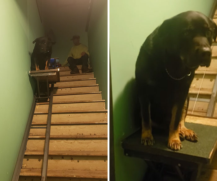 Meet Gunner...the Bestest Old Boy Who Had Knee Surgery... So His Human Made Him His Own Private Elevator. 100/10 Would Pet Again!