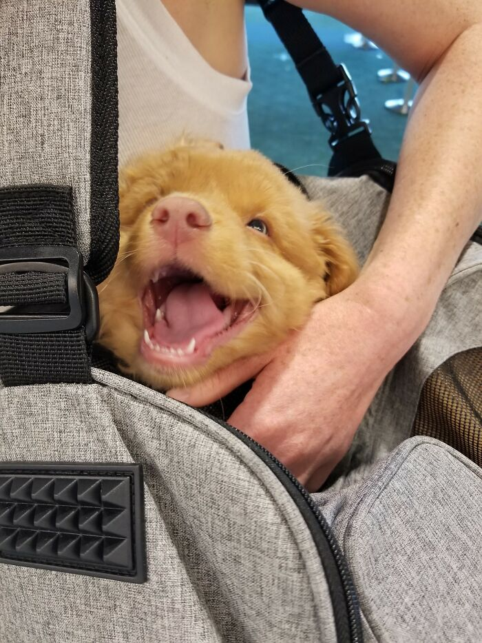 Got To Meet A Very Happy Sleepy 9 Week Old Duck Today And Thought I Might Die. 16/10 For Softest Smiling Yawn