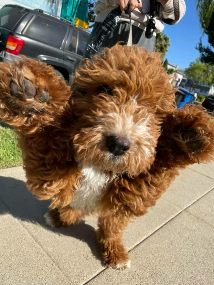 Someone On My Block Got A Goldendoodle Puppy! I Bent Down To Take His Pic And He Threw His Paws Up His Name Is Max And He's 3 Months Old