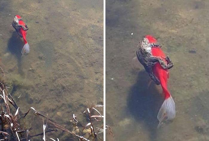 La primera vez que veo una rana montada en un pez
