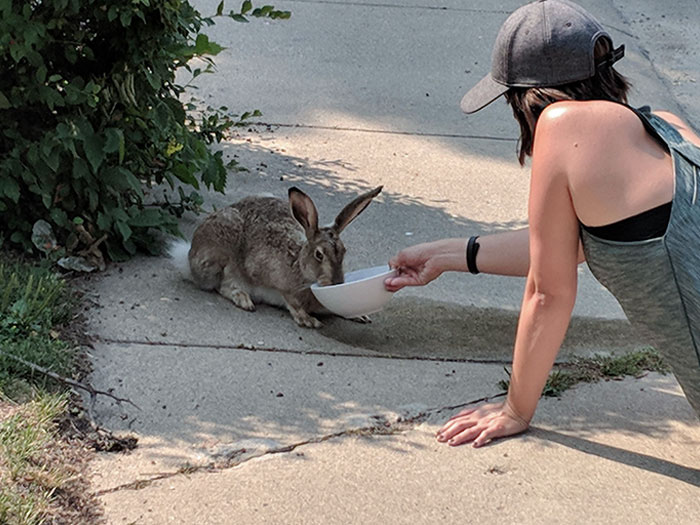 Giving Water To A Dehydrated Bunny In 100-Degree Heat