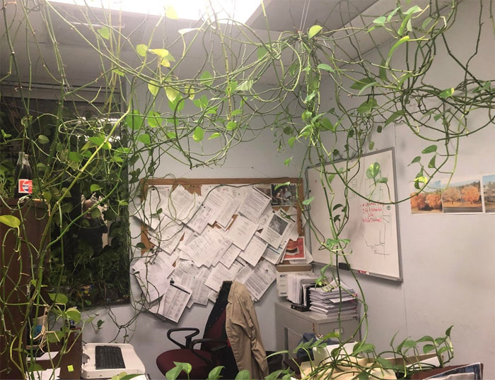 Feed Me, Seymour! In My Office, A Coworker Has Been Growing This Vine For Years. The Office Manager Wants It Gone. I Like It