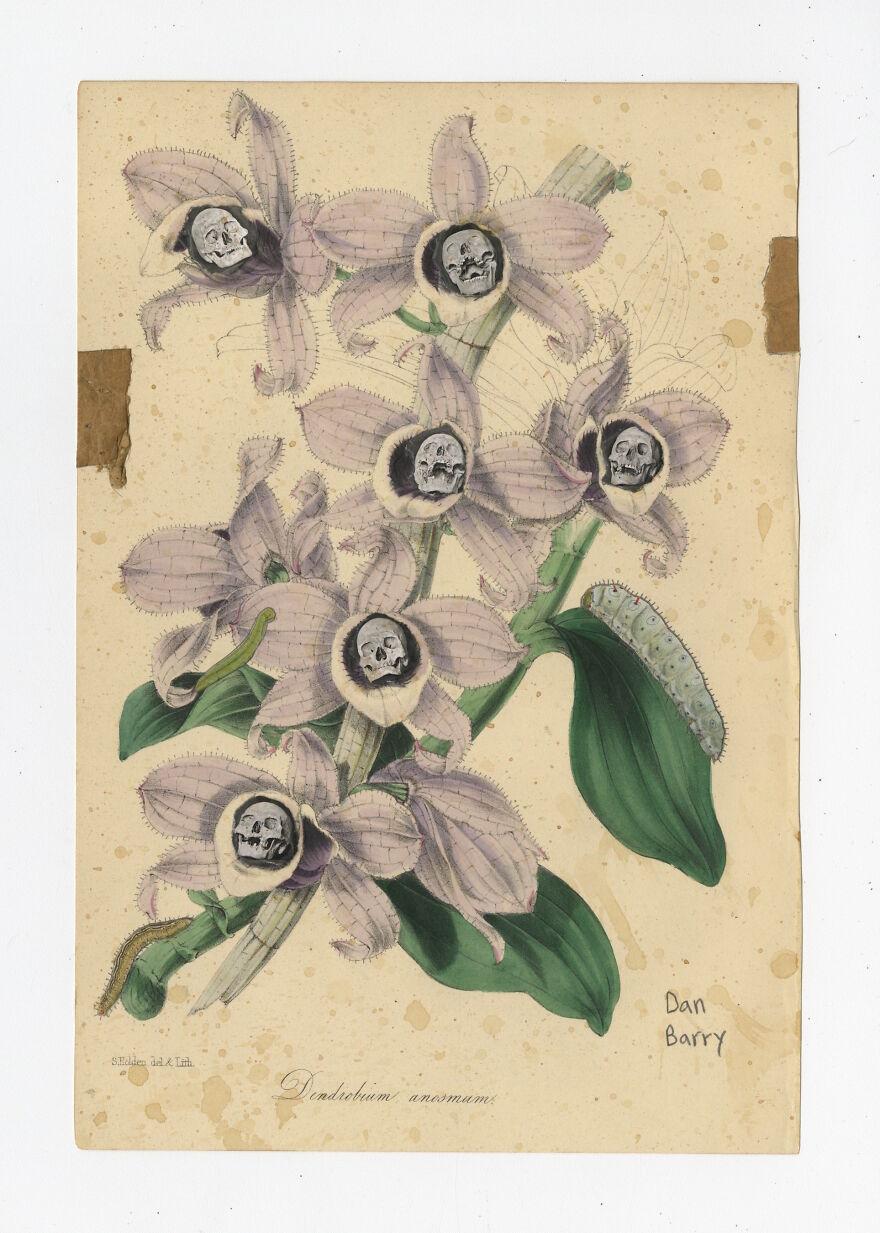 Dendrobium Anosmum, 2021