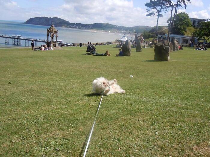 My Daft Doggo Going 'Wheeeeeeeeeeeee' Rolling Down A Hill 🤣🤣🤣