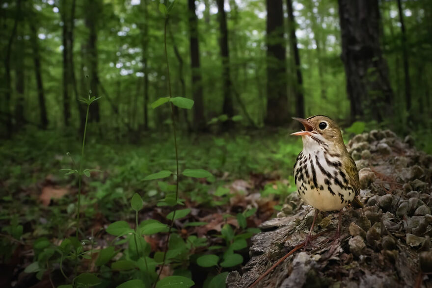 Birds In The Environment: 'Claiming The Forest Floor' By Joshua Galicki (Silver)