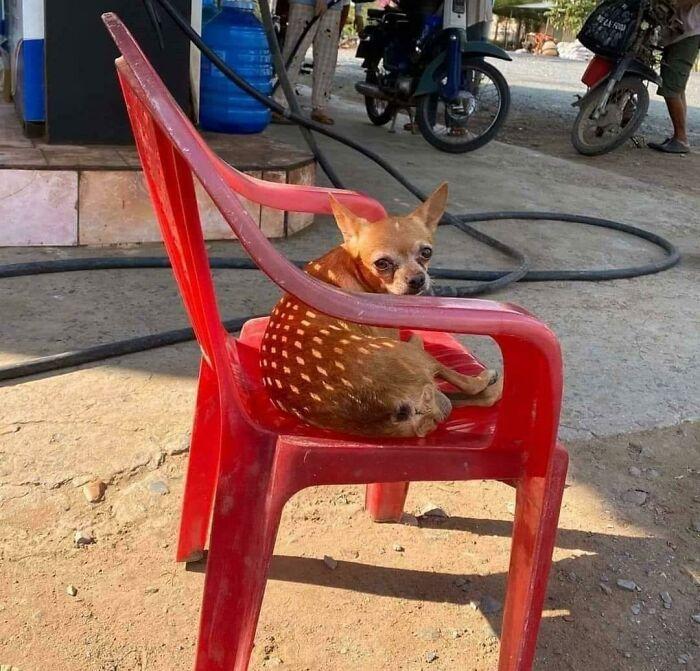 Cervatillo en una silla