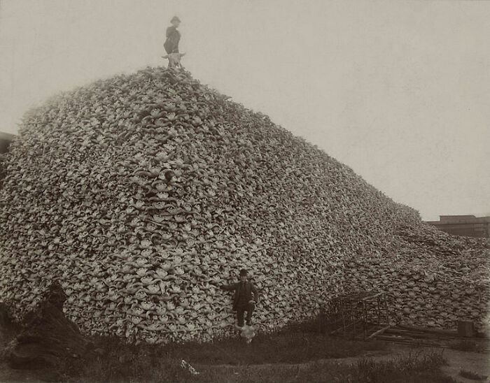 If You Ever Wondered How The American Buffalo Could Go From 30,000,000 To 300 In 50 Years, Pictures Like This May Give Some Idea (Buffalo Skulls)