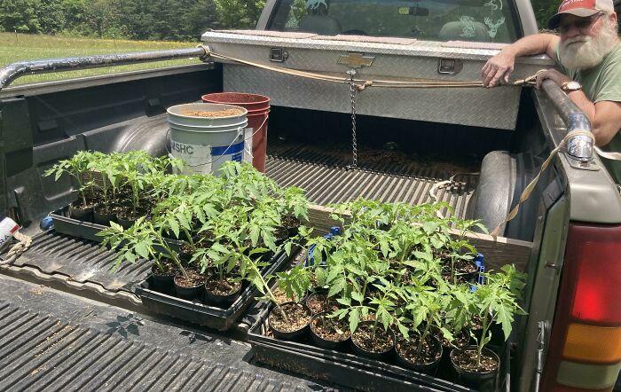 Arkansas Traveler Tomatoes. Originally Purchased In 1970... 51 Years Ago. Buy Heirloom, Buy It Once