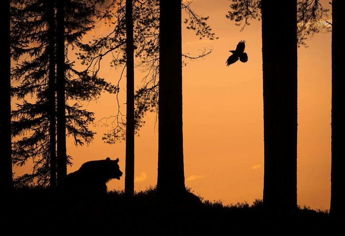 Oso y cuervo, la foto del año en Finlandia