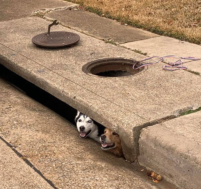 These Derps Got Stuck In A Storm Drain. I Don't Think They're Worried
