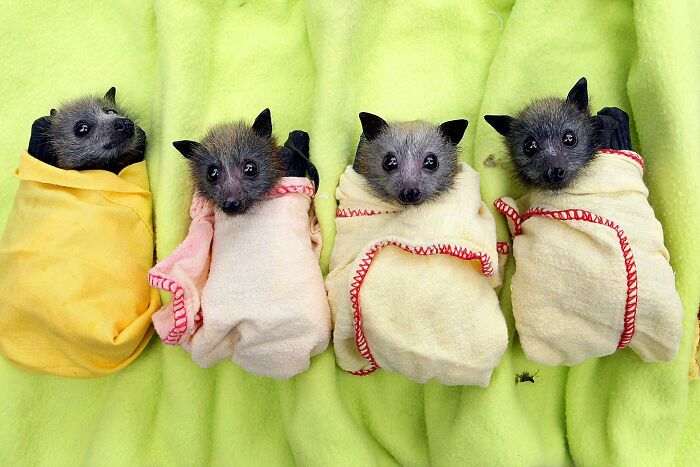 Las crías de murciélago huérfanas que se rescatan se envuelven cómodamente en mantas para imitar el cálido abrazo de las alas de su madre