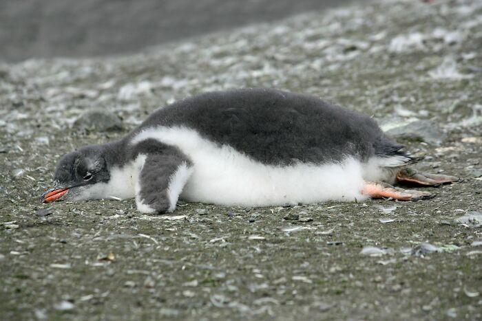 Los pingüinos, debido a su aislamiento de grasa, cuando tienen demasiado calor, jadean y sacan las piernas, lo que los enfría
