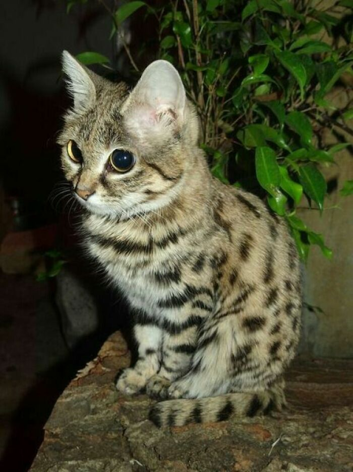 El gato de patas negras (Felis Nigripes) es el más pequeño de África (hasta 1,5 kg) y puede cazar presas más grandes que él