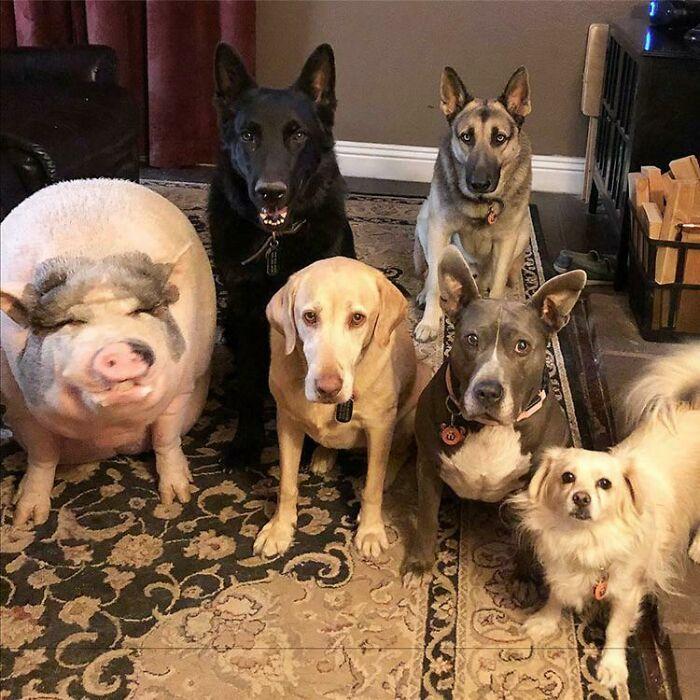 Los cerdos son conocidos por ser muy sociables e inteligentes, especialmente los vietnamitas