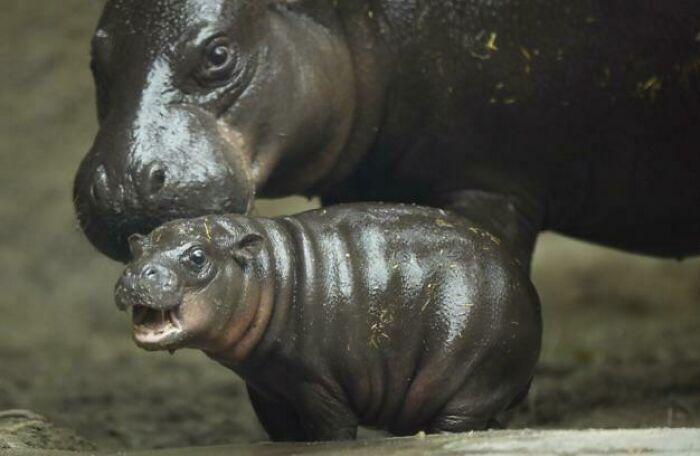 Los hipopótamos pigmeos están en peligro crítico, con menos de 3.000 ejemplares en estado salvaje. El zoológico de San Diego ha criado uno por primera vez en tres décadas. Se llama Akobi y tiene dos meses
