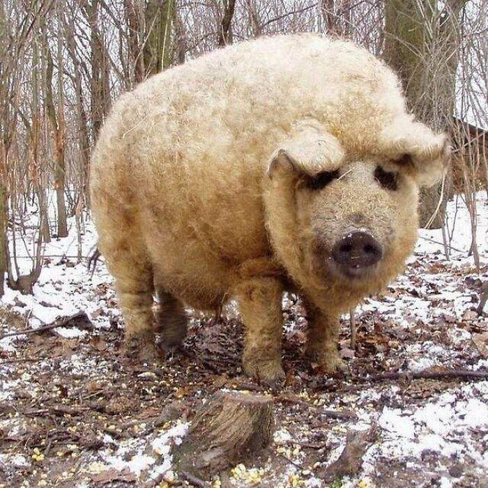 El mangalica es la única especie de cerdo cubierta de un largo pelaje de lana, similar al de las ovejas