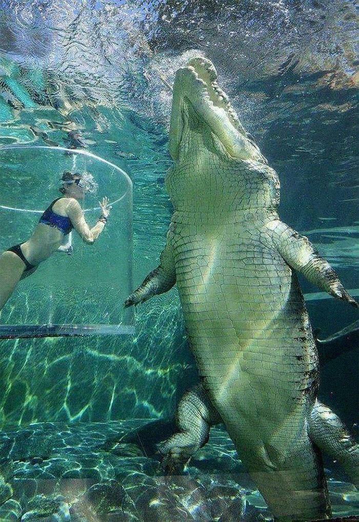 Este cocodrilo de agua salada