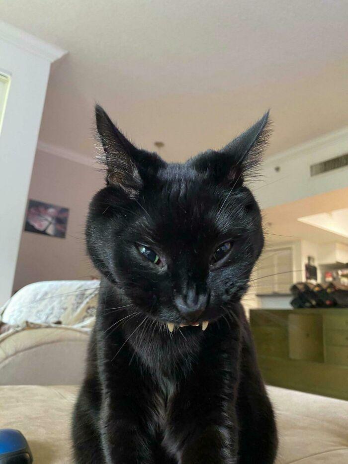 Mid Yawn Teefies Looking Devilish