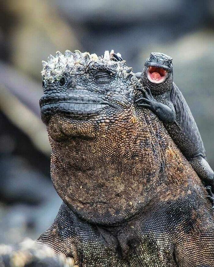 Las Iguanas Marinas Tienen Una Relación Mutua Con Los Lagartos De Lava, Ya Que Éstos Suelen Correr Sobre Ellas Para Cazar Moscas