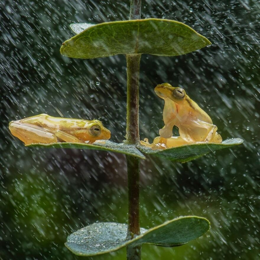 Photographer Takes Pictures Of Small Frogs Using Flowers As Umbrellas And Goes Viral